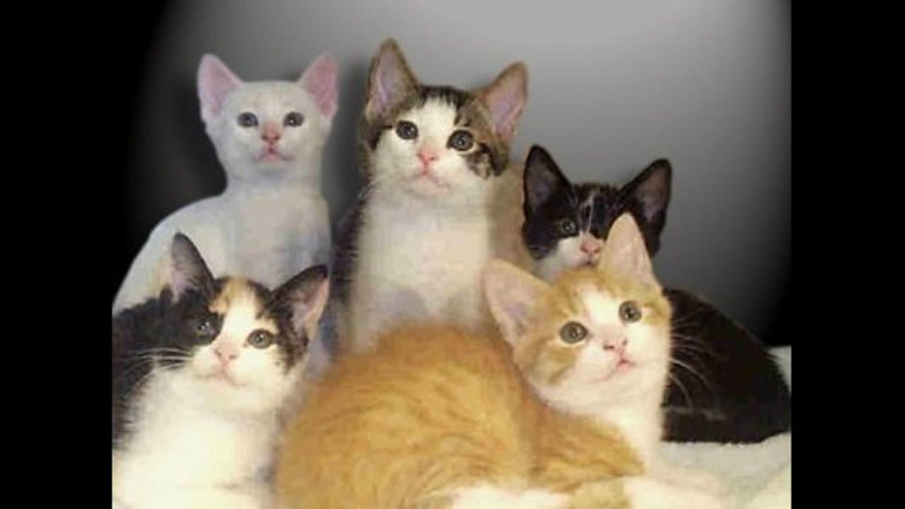 cat low platelets