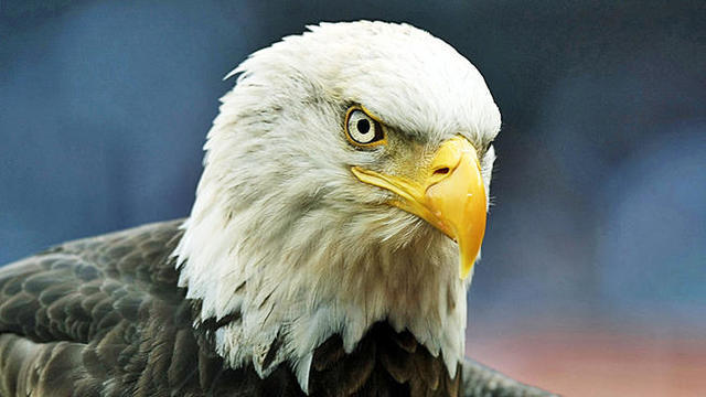 Bald eagles to be released after being nursed back to health at Virginia…