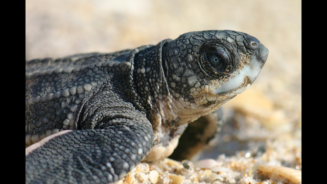 North Carolina rescue group wants your old bras to save injured turtles