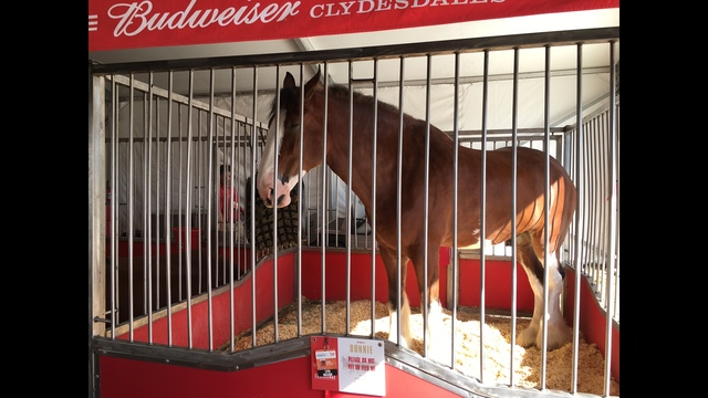 The Budweiser Clydesdales, most well known for their Super Bowl Ads, are making an appearance at Sunday_186217