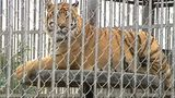 Tiger living at Louisiana truck stop euthanized after health struggles