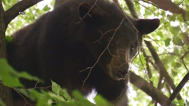 Black bear enters Montana home and takes a nap in the closet