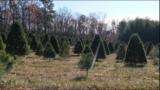 Virginia Christmas tree farmers experience drought, shortage this season