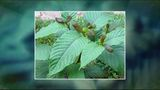 Warnings about herbal supplement kratom hit Roanoke