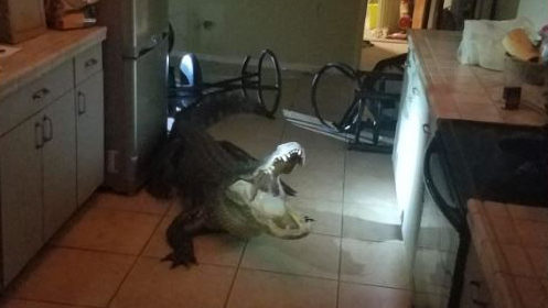 11-foot-long alligator breaks into Florida home overnight