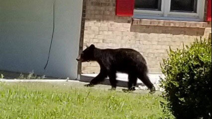 Black bear spotted in Danville