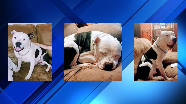 Stolen Campbell County pit bull puppy found
