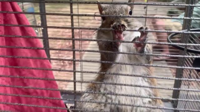 Captive squirrel turns wild rodent after being fed meth to attack home visitors