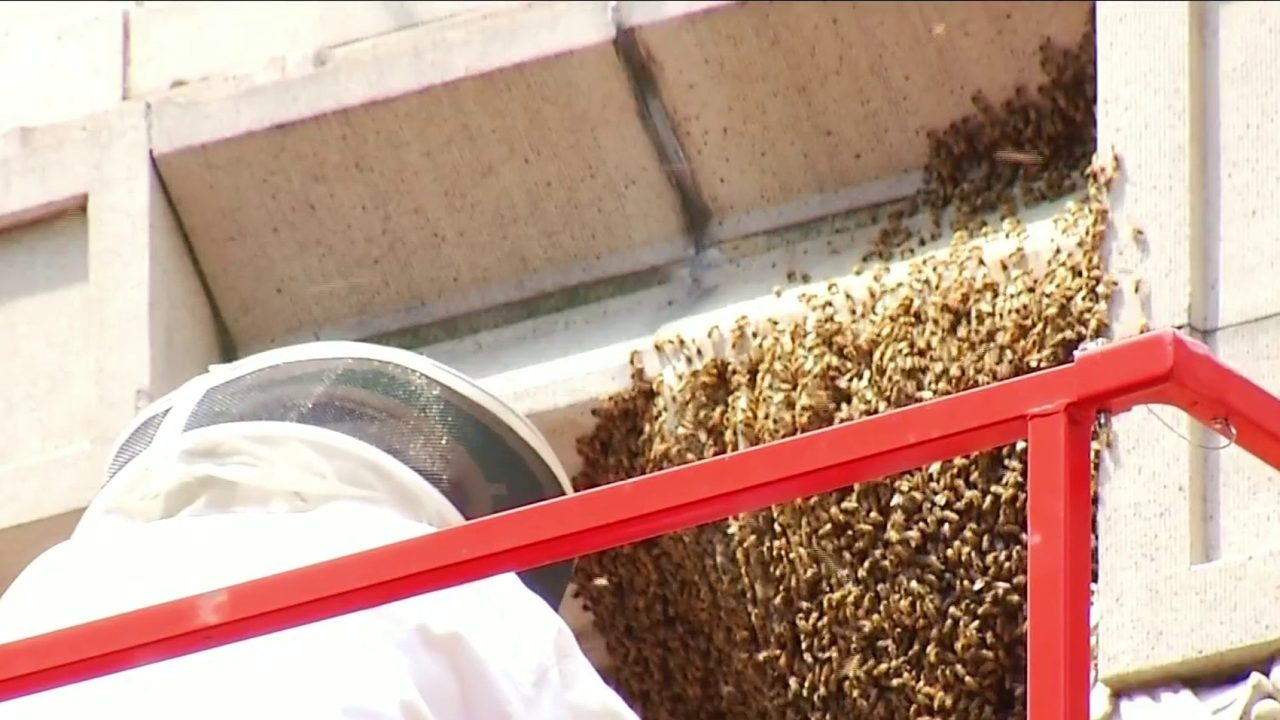 """Un-""""bee""""-lievable sight: 30,000 bees safely removed from downtown Roanoke building"""