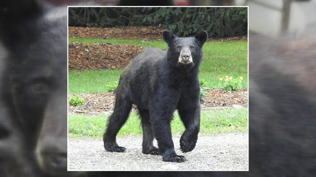 Black bear sightings in residential areas could mean bears are searching…