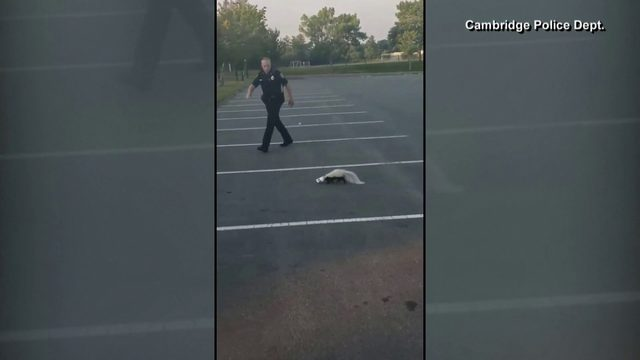 Massachusetts police officer sprayed by skunk while trying to remove…