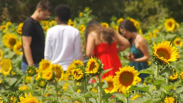 Sunflower festival featuring 21 acres of flowers expected to attract…