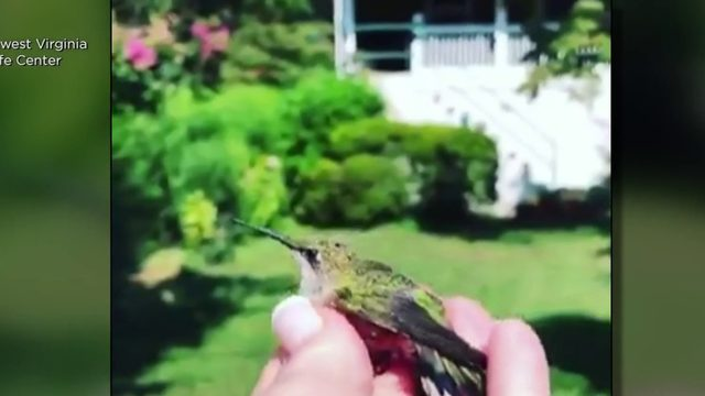 Feel Good Moment: Rescued hummingbird released back into wild