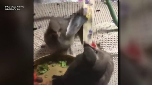 Baby bird gives up food to feed nest mate with broken leg